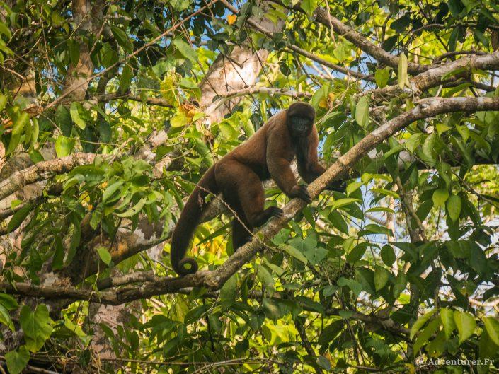 Les Animaux de la jungle Péruvienne